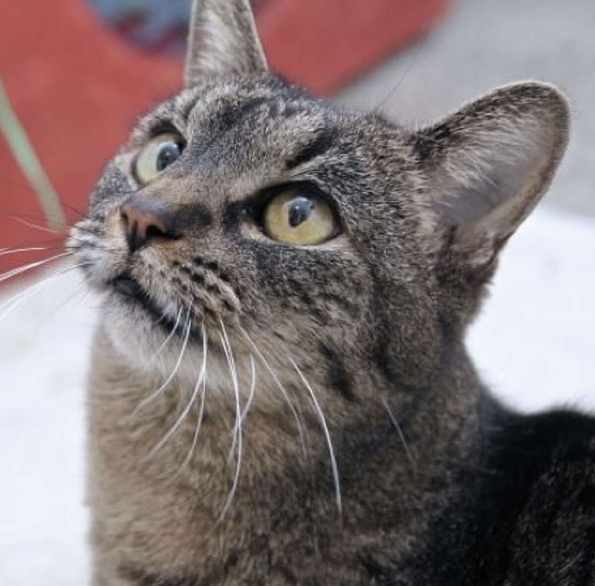 Catsy Cline, one of the older girls at the SPCA Mission shelter, needs someone to take her home.