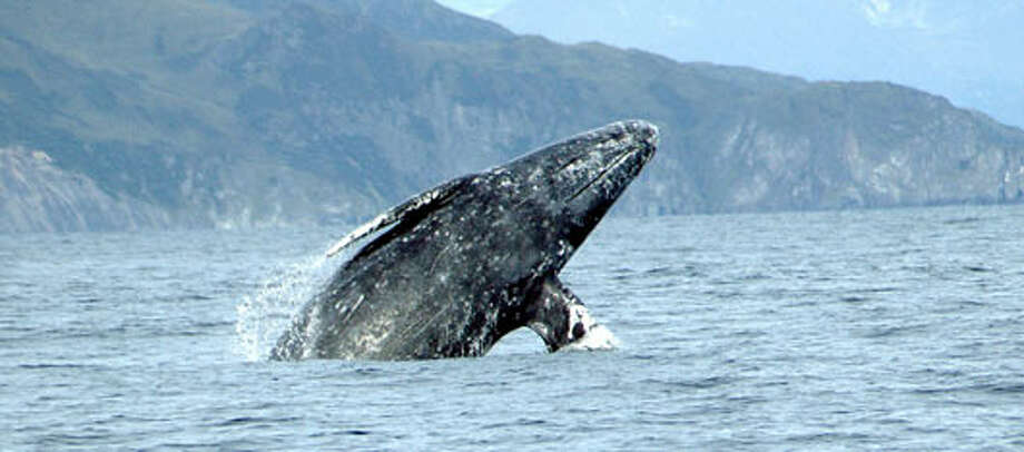 The U.S. Fish and Wildlife Service listed the gray whale as endangered in 1970. In 1994, it delisted the Eastern North Pacific population due to recovery. Photo: U.S. Fish And Wildlife Service