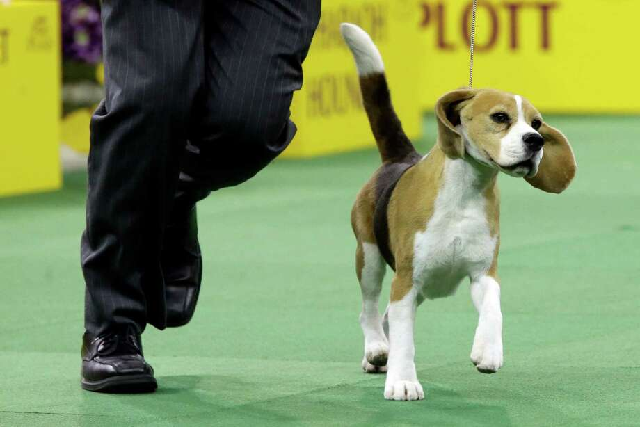 Miss P, a beagle, is shown in the rink during the hound competition at the Westminster Kennel Club dog show, Monday, Feb. 16, 2015, at Madison Square Garden in New York. Miss P won best hound. Photo: Mary Altaffer, AP / AP