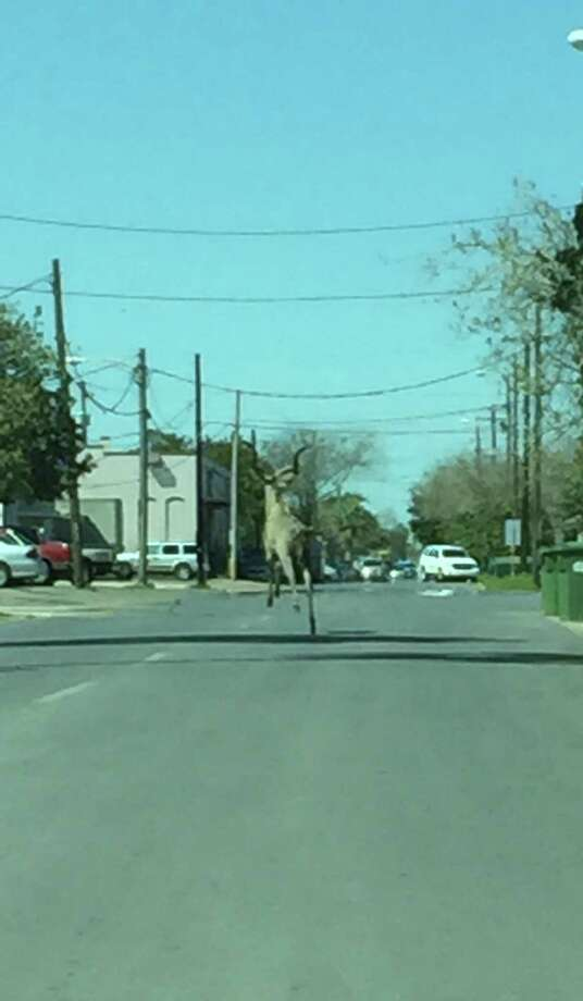 An antelope residing in the Brownsville Gladys Porter Zoo escaped during an attempted transfer and led authorities on a chase through downtown Brownsville on February 18, 2015. Photo: Jose Antonio Davila