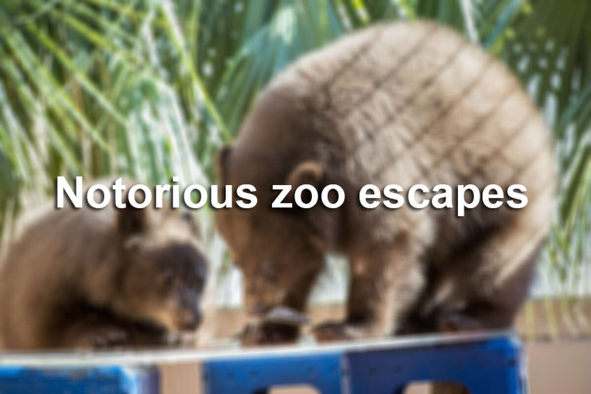 Click through to see some of the most daring and crafty escapes from zoos around the world.