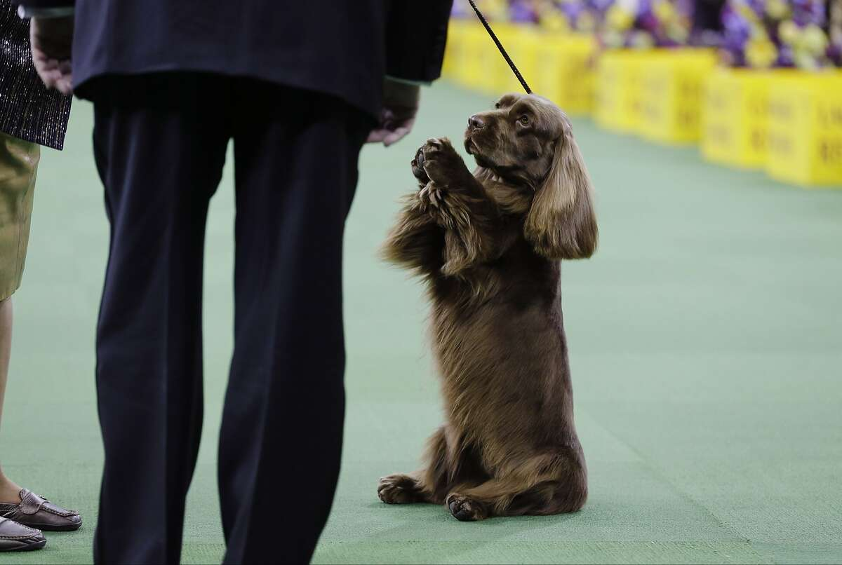 PLEASE, PLEASE, LET ME BE BEST OF SHOW: At the very least, this Sussex spaniel was hoping to be named best of the sporting group at the Westminster Kennel Club in New York.