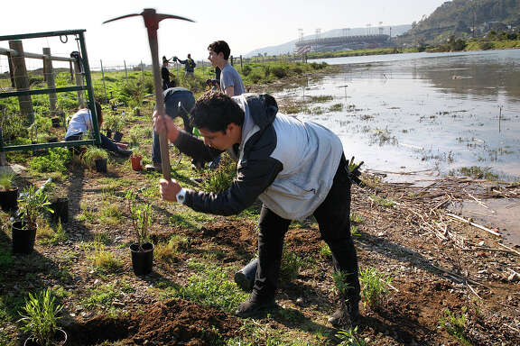 Isaac De La Cruz, 17 year old student from Downtown High School, uses a pick axe to prepare soil for plantings at Yosemite Slough at Candlestick Point state park in San Francisco, California on Wednesday, February 18, 2015.  He is part of the Wilderness Arts and Literacy Collaborative as they work to restore the slough.