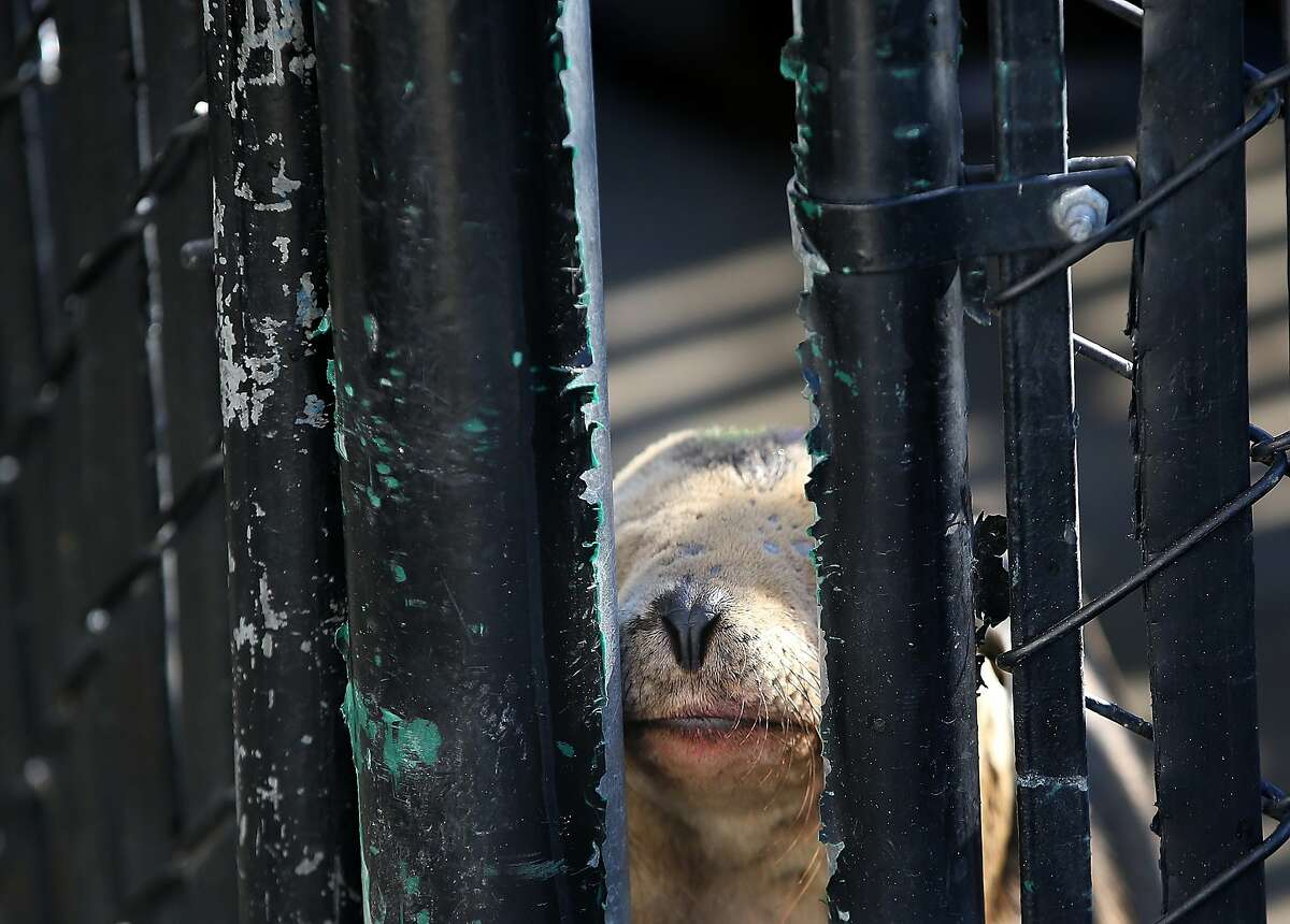 A sick California sea lion pup pokes its nose through a break in the fence of an enclosure at the Marine Mammal Center on February 12, 2015 in Sausalito, California.