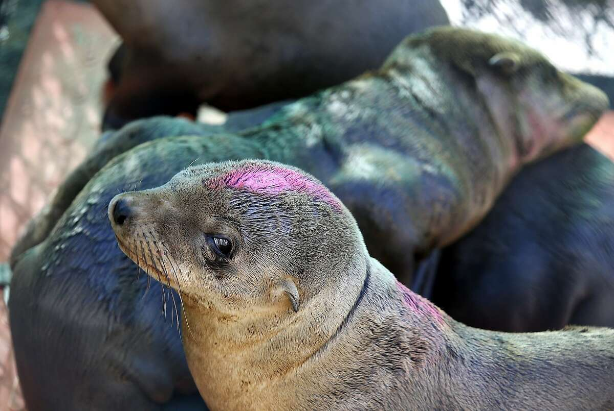 SAUSALITO, CA - FEBRUARY 12: Sick California sea lion pups sit in an enclosure at the Marine Mammal Center on February 12, 2015 in Sausalito, California. Scientists are struggling to figure out what is causing hundreds of sick and starving California sea lions to wash up on on California shores over the past three winters. Nearly 500 of the extremely emaciated pups have been found since the beginning of the year and are being treated at rehabilitation centers throughout the state. The Marine Mammal center has cared for over 170 of the pups so far this year. (Photo by Justin Sullivan/Getty Images)