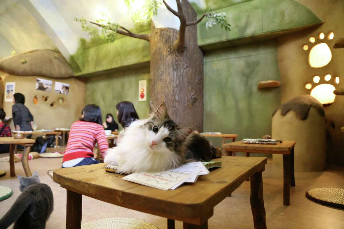 Cat cafes are all the rage overseas. Here's an inside view of a cat cafe on January 21, 2015 in Tokyo, Japan. The world's first cat cafe opened in Taiwan in 1998.