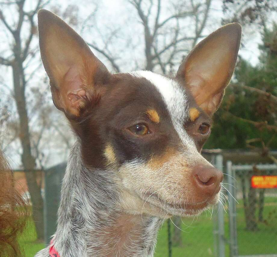 rat terrier australian cattle dog mix alexander the great chapter is great houston chronicle 8200