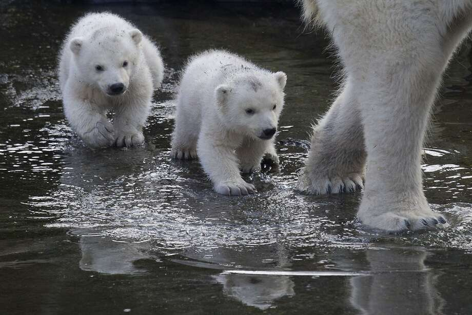 FOLLOW THE LEADER:Two polar bear cubs follow Mom through a puddle as they venture outside their enclosure for the first time since they were born at Ouwehands Zoo in Rhenen, Netherlands. Photo: Peter Dejong, Associated Press