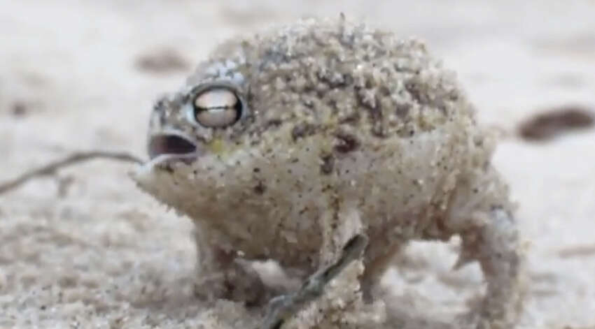 1. The Desert Rain Frog would raise eyebrows especially once we all heard the very surprising and super cute croak this dude makes. (Listen and watch in next slide.)