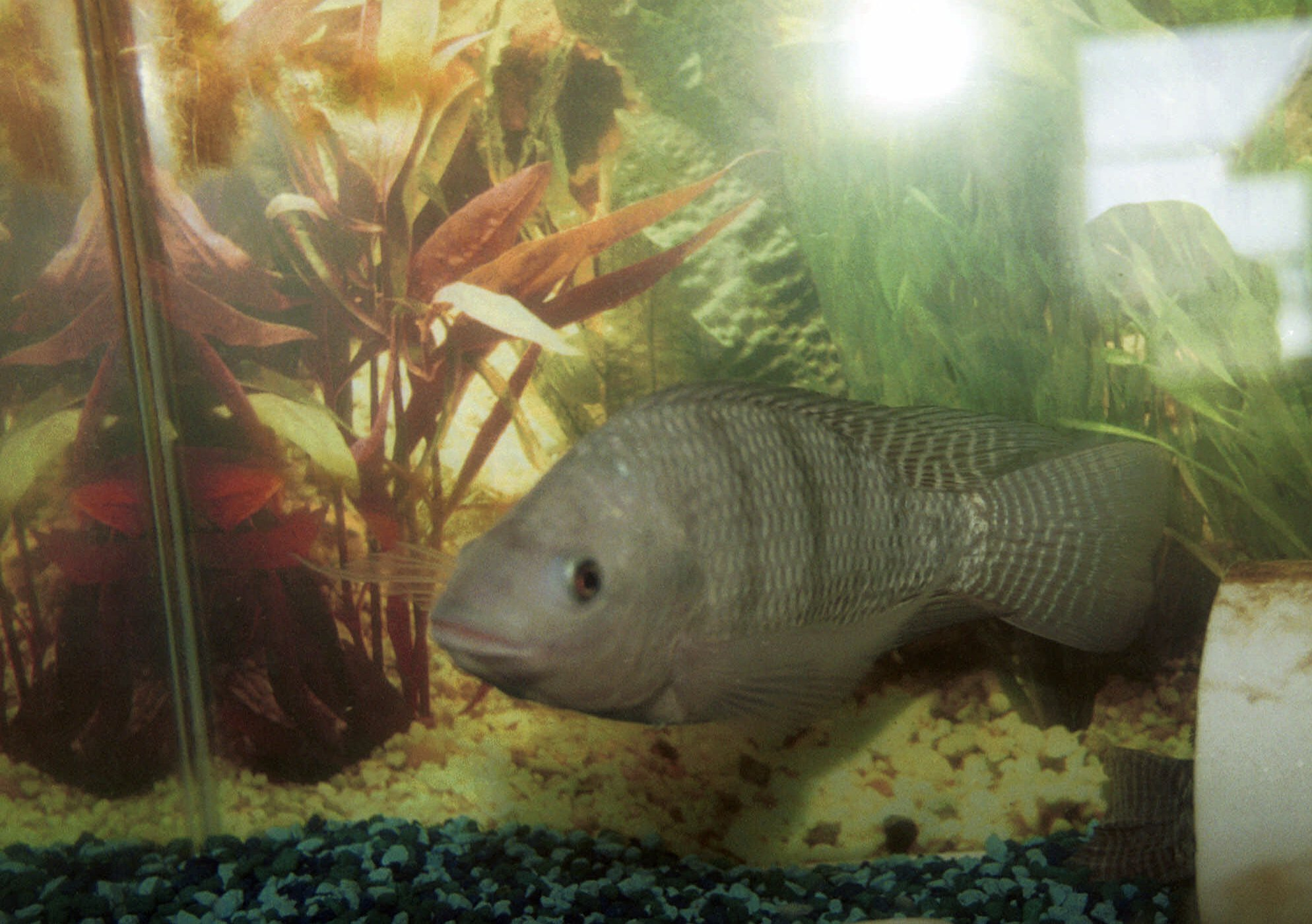Tilapia farm could get shut down by TPWD - Houston Chronicle