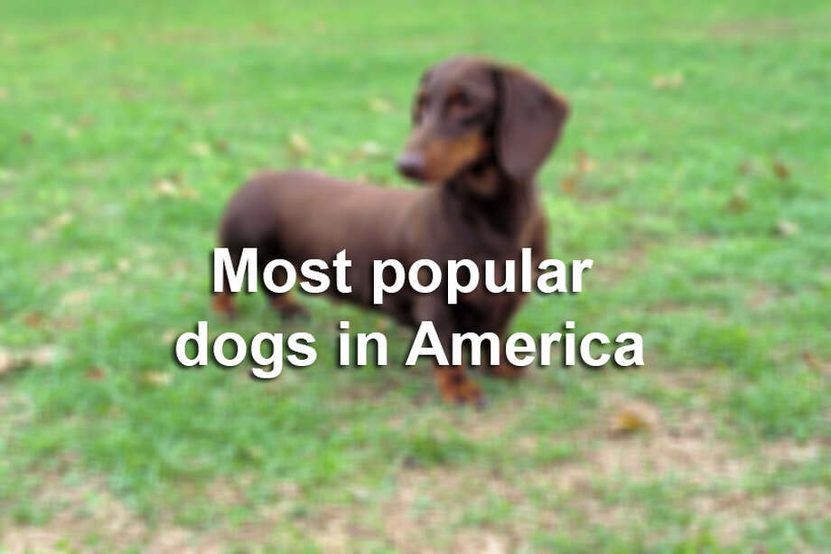 Most popular dogs in America Photo: Courtesy