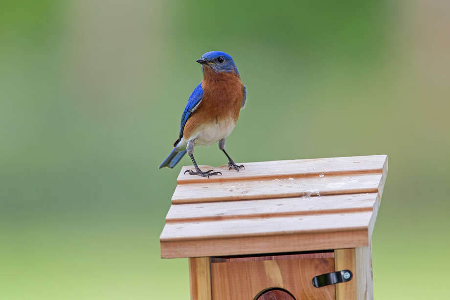 Eastern bluebird males will defend their backyard nest box against interloping males.  They will attack a reflection in a window thinking the reflection is an intruder.  Photo Credit:  Kathy Adams Clark.  Restricted use. Photo: Kathy Adams Clark / Kathy Adams Clark/KAC Productions