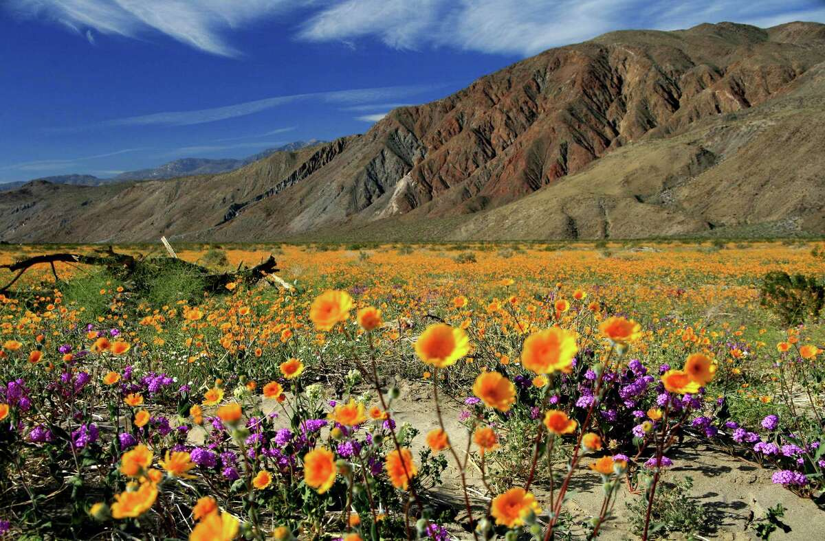 Anza-Borrego Desert State Park (cont'd) Distance from SF:530 miles, 8 hrs 45 min. Like the hawks, flowers have descended upon Anza-Borrego in heaps. Superbloom season is upon us, and the fields of Anza Borrego Desert State Park are carpeted with wildflowers. Bart O'Brien, director of Berkeley's Regional Parks Botanic Garden says this year's flower explosion is