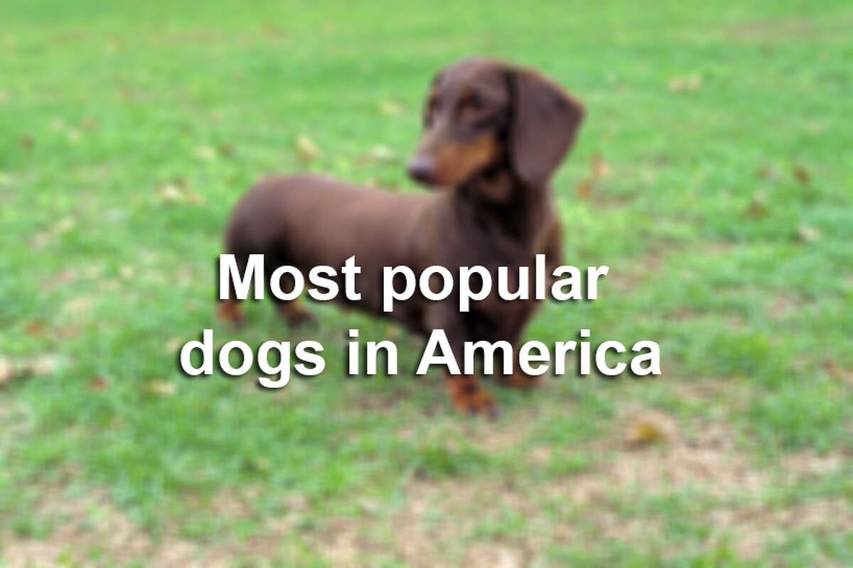 Most popular dogs in America