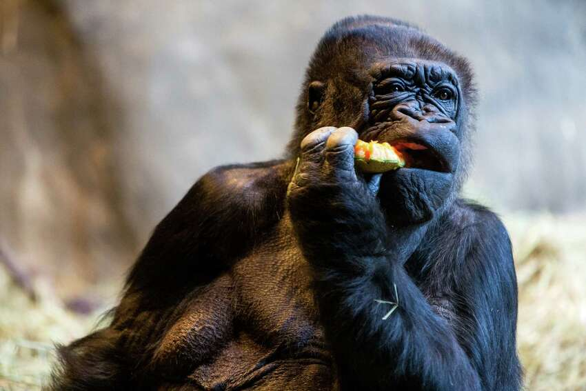 Gorillas Pete and Nina, both born in 1968, celebrated their 47th birthdays with treats from zookeepers on Saturday, February 21, 2015, at Woodland Park Zoo in Seattle, Washington. The zoo also celebrated the birthday of its twin orangutans Chinta and Towan.