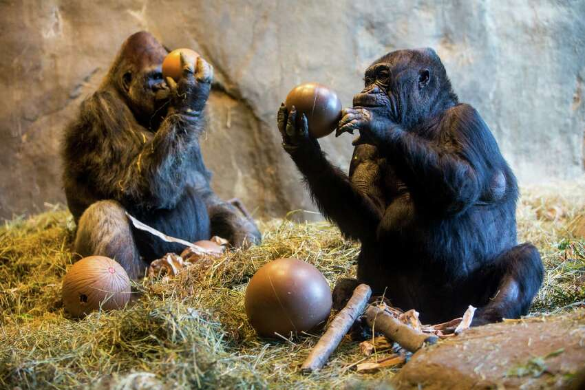 Gorillas Pete and Nina, both born in 1968, celebrated their 47th birthdays with treats from zookeepers Saturday, February 21, 2015, at Woodland Park Zoo in Seattle, Washington.