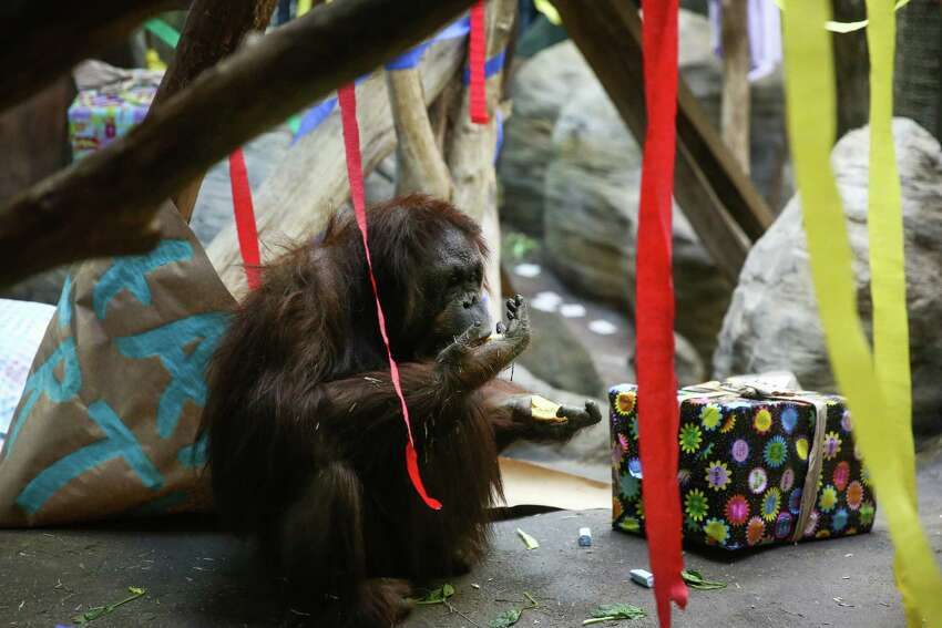 Woodland Park Zoo's orangutans Chinta gets treats as the zoo celebrates her 47th birthday -along with her twin brother Towan- on Saturday, February 21, 2015, at Woodland Park Zoo. The twins were the first know orangutan twins born in a zoo in 1968. The zoo also celebrated the birthday of its gorillas.