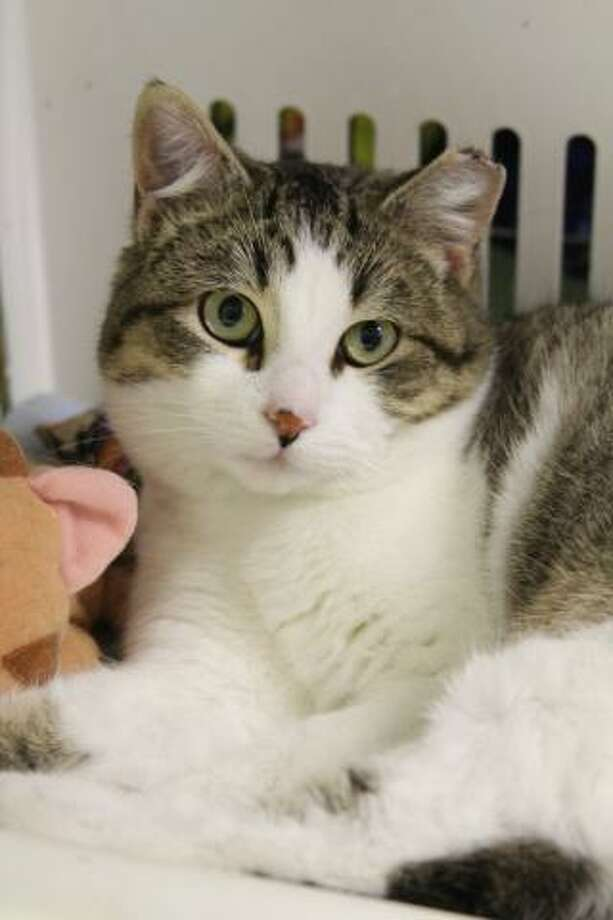 Ellis is a young, playful kitty looking for a quiet home. (Mary Lou Baker)