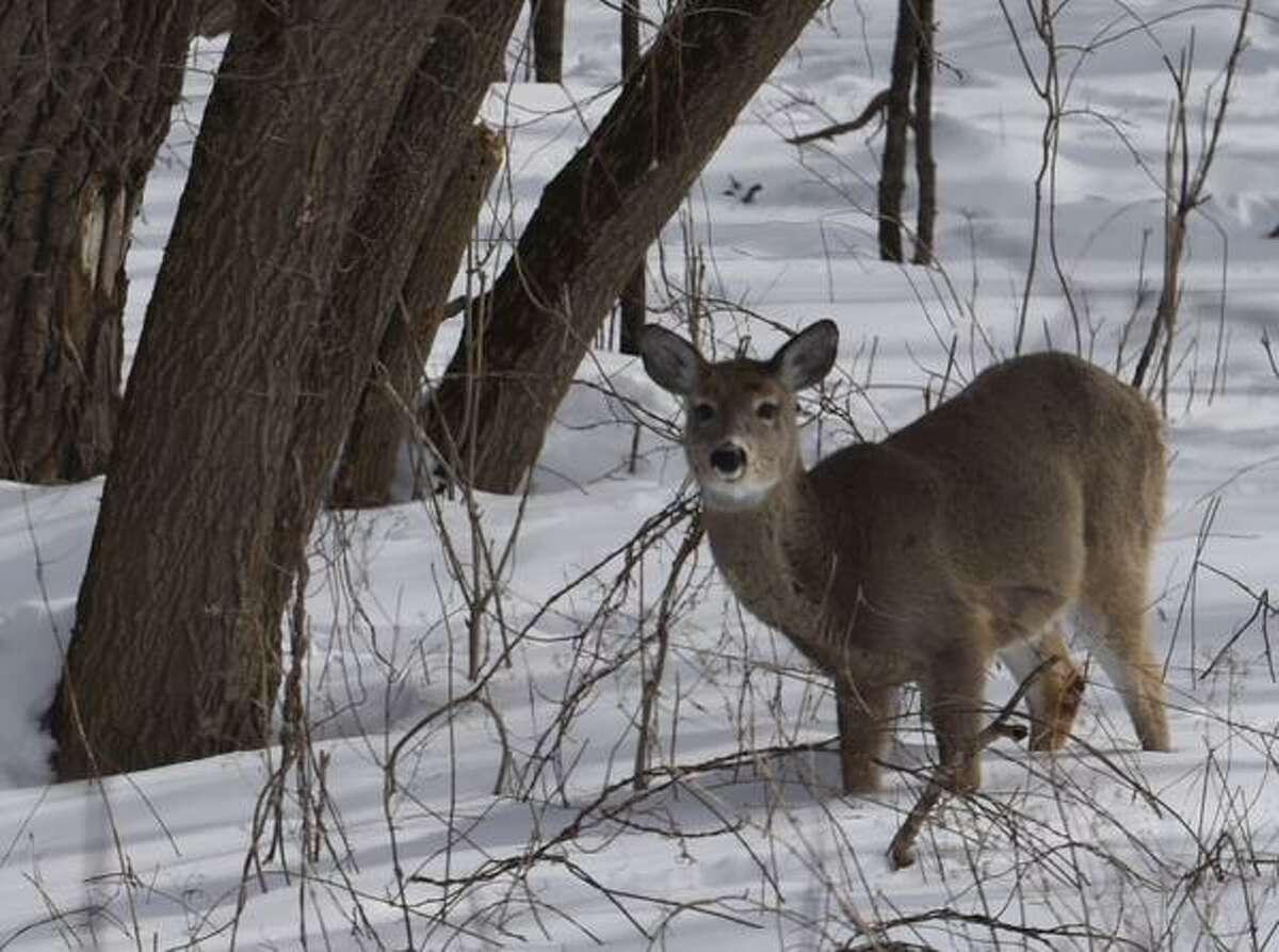 Looking for food any place it can, this deer paused in its search on Peebles Island in Waterford. (Skip Dickstein / Times Union)