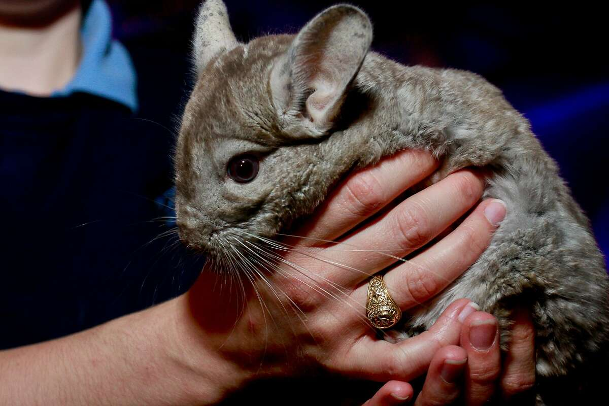 SOFTEST GUEST AT THE GALA: Houston Zoo staffer Nikki Blakley wore a lovely chinchilla muff to the zoo's Ambassadors Gala. His name is Ande.