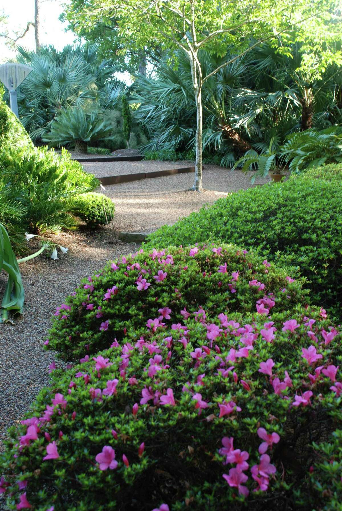 Satsuki azaleas, palms and cycads thrive in the woodland and dry gardens at Peckerwood.