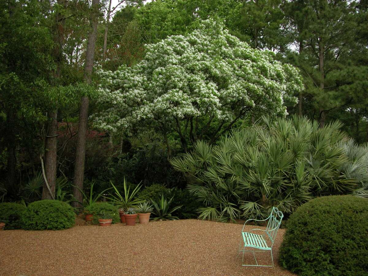 A Chinese fringe tree is a spring highlight at Peckerwood Garden.