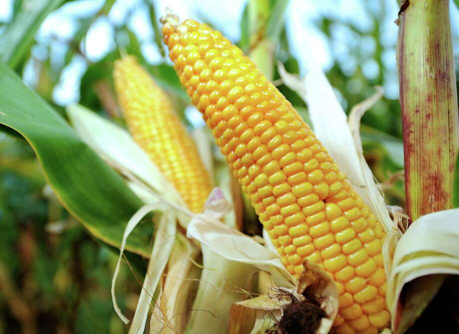 Corn. It's good for cows and cars. Photo: PHILIPPE HUGUEN, Staff / AFP