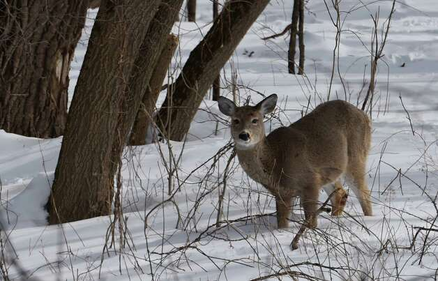 A deer looks for food Monday afternoon, Feb. 23, 2015, near Pebbles Island in Cohoes, N.Y.   (Skip Dickstein/Times Union) Photo: SKIP DICKSTEIN