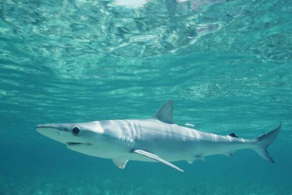 This gallery shows some of the dozens of shark species that can be found in the Gulf of Mexico. Here is the Atlantic sharpnose shark.
