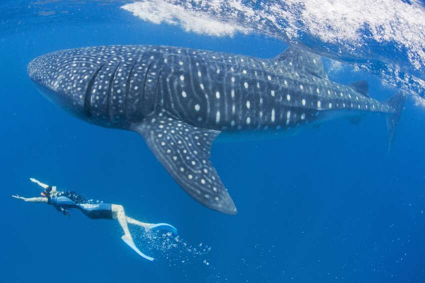 US Actress Maggie Q swims with an endangered whale shark off Cancun, Mexico.