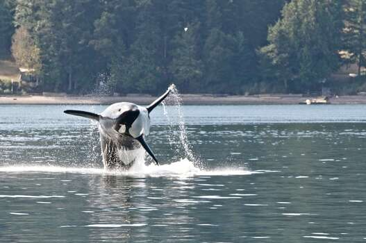 Transient Orcas feeding on north side of Stuart Island, San Juan Islands, Sept. 9, 1013 Photo: (Captain Jim Maya/www.mayaswhalewatch.biz)