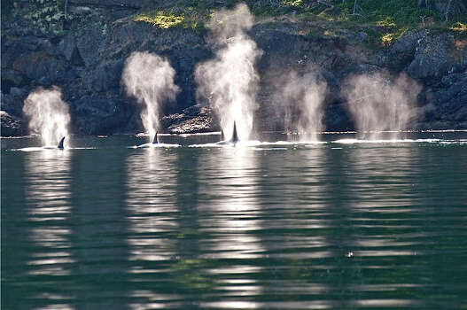 Transient Orcas  on north side of Stuart Island, San Juan Islands, Sept. 9, 1013 Photo: (Captain Jim Maya/www.mayaswhalewatch.biz)