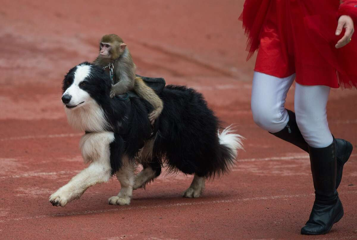 OTHER ANIMALS RIDING ANIMALS: In Shanghai, a monkey mounts a dog to celebrate the Year of the Sheep. Millions are celebrating the Spring Festival, the most important holiday on the Chinese calendar.