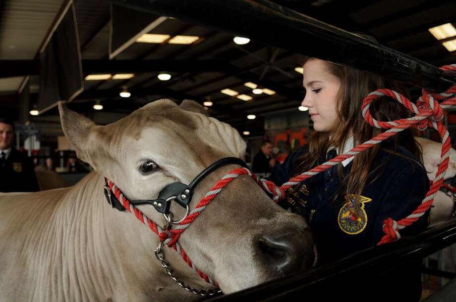 "Katelyn Bihm, 18, a senior at Cinco Ranch High School, tends to ""Jesse"", her grand champion steer, before the start of the 72nd annual Katy ISD FFA auction at the L.D. Robinson Pavilion on Feb. 21. Photo: Jerry Baker, Freelance"