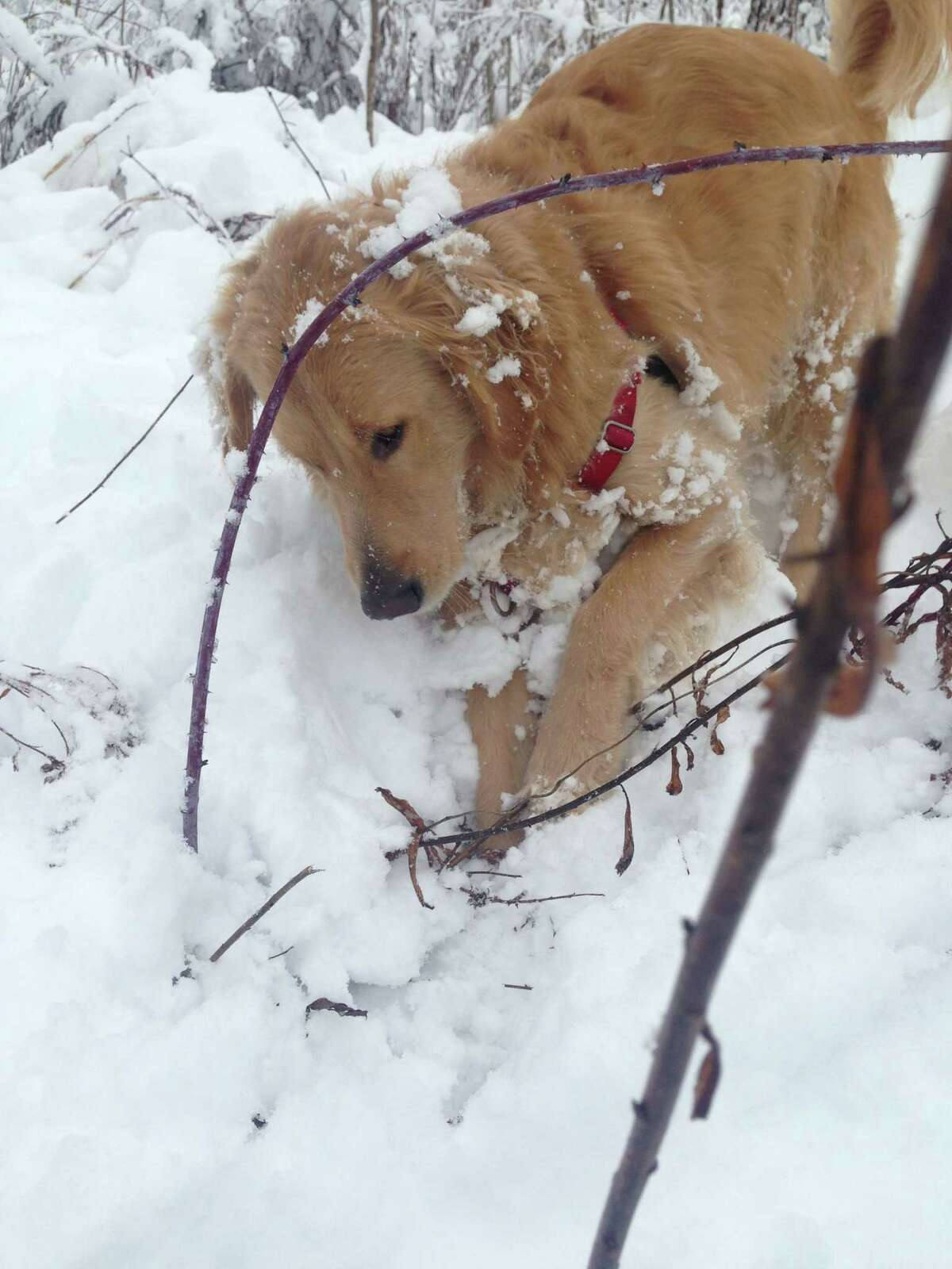Max the dog loves to hunt for rabbits, diving head first in the deep snow, says Victoria Morrell. (provided photo)