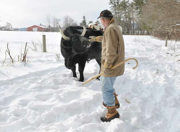 Retired Assemblyman Bob Reilly with one of his Kerry steers on Thursday, Feb. 19, 2015, in Schoharie, N.Y.  The Kerry steer is a heritage breed Reilly is working to preserve.    (Paul Buckowski / Times Union) Photo: PAUL BUCKOWSKI / 00030676A