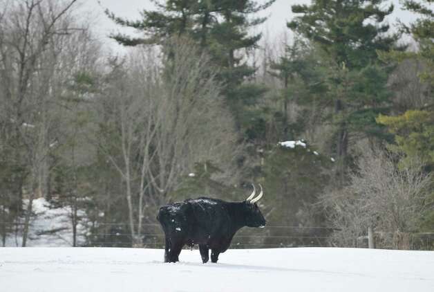A Kerry steer stands in a field  on Thursday, Feb. 19, 2015, in Schoharie, N.Y.  Retired Assemblyman Bob Reilly is working to preserve the heritage breed.   (Paul Buckowski / Times Union) Photo: PAUL BUCKOWSKI / 00030676A