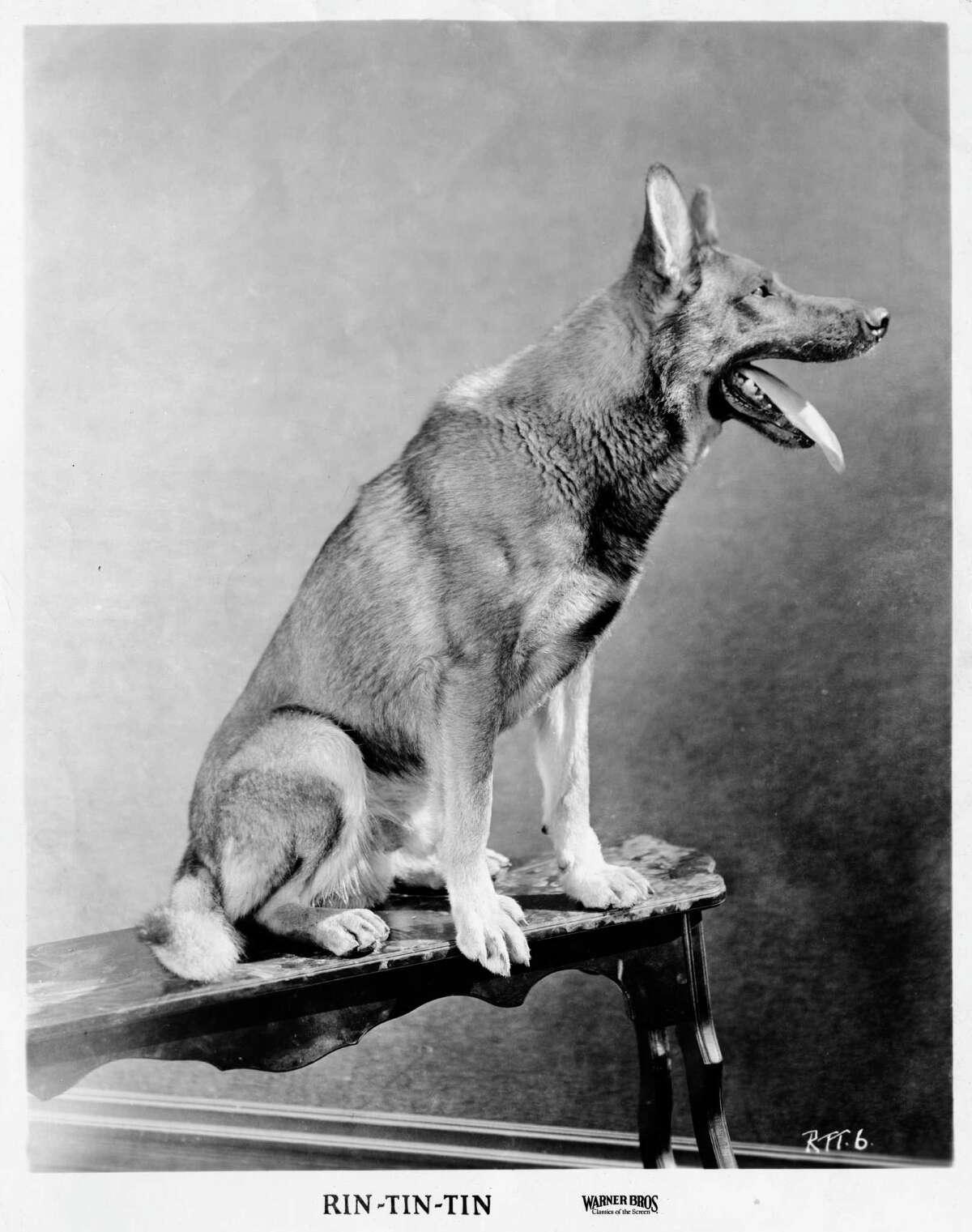 A studio portrait of canine film star Rin Tin Tin (1918 - 1932), circa 1925. (Photo by Warner Bros./Archive Photos/Getty Images) Canine film star Rin Tin Tin