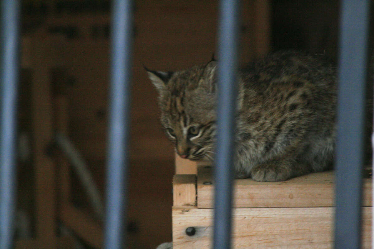 A mother bobcat and her two kittens moved into a building at Fort Griffin historic site. Photo by Eric Abercrombie, courtesy of Texas Historical Commission
