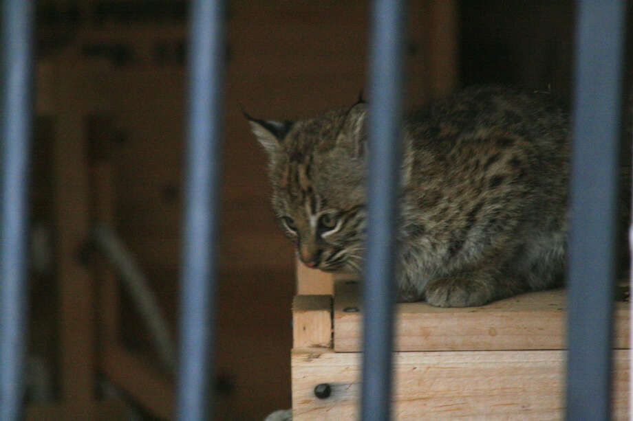 A mother bobcat and her two kittens moved into a building at Fort Griffin historic site. 