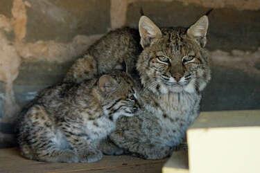 Found San Antonio Kittens Turn Out To Be Baby Bobcats San Antonio