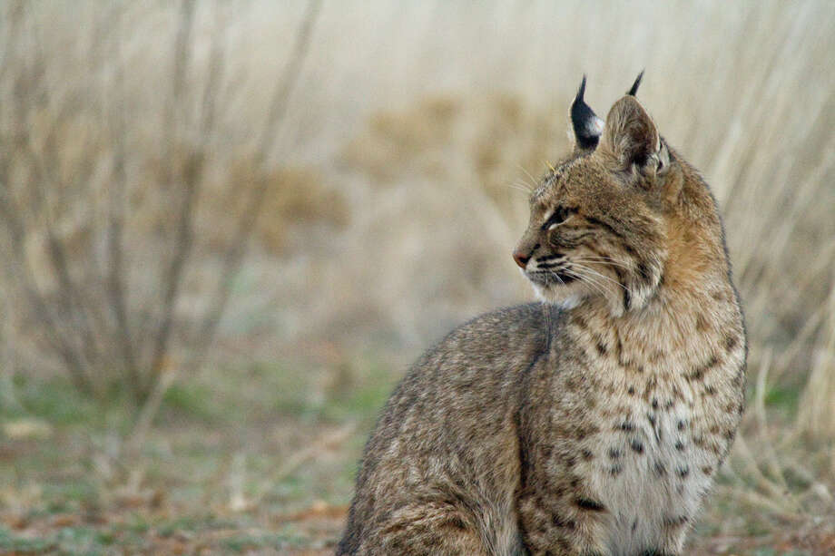 Trail Cam Turns Texas Bobcats Into Facebook Stars Houston Chronicle