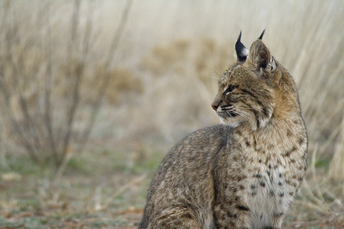 trail cam turns texas bobcats into facebook stars