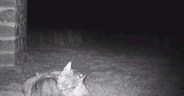 Found San Antonio kittens turn out to be baby bobcats - San