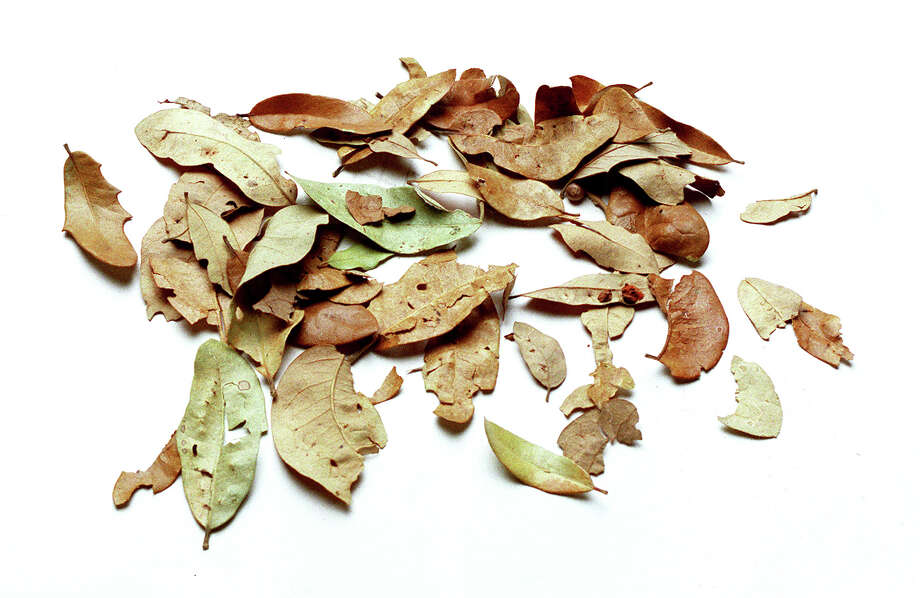 Live oak leaves are a valuable resource for gardeners. Use as mulch, or add them to compost. Photo: Express-news File Photo / SAN ANTONIO EXPRESS-NEWS
