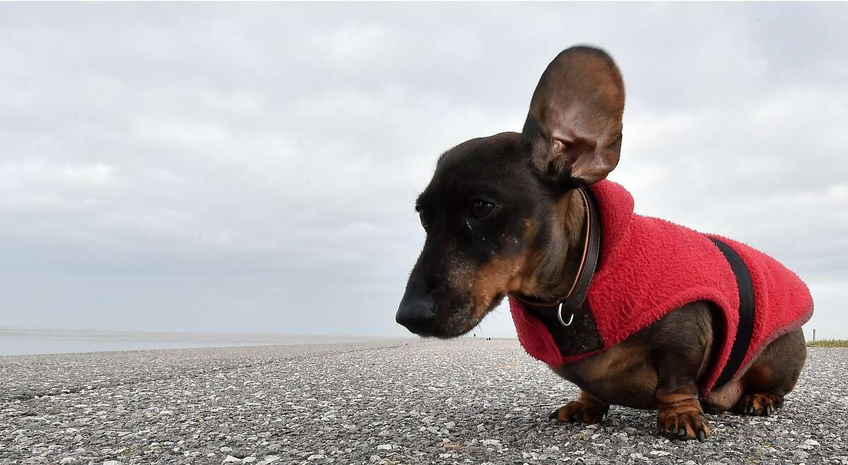 HEAR SOMETHING, BOY? A strong gust lifts Stromer's ear during a storm in Norddeich, Germany. If the dachshund's other ear catches the wind, he's liable to sail off into the North Sea.