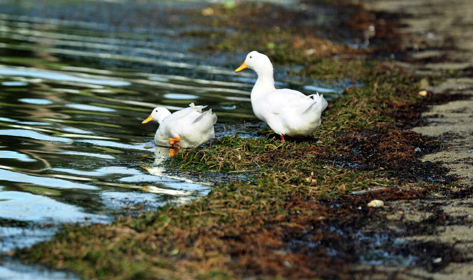 Two ducks cross over the Eurasion watermilfoil at the Danbury Candlewood Park beach to get to the water in this file photo. Photo: Carol Kaliff / The News-Times