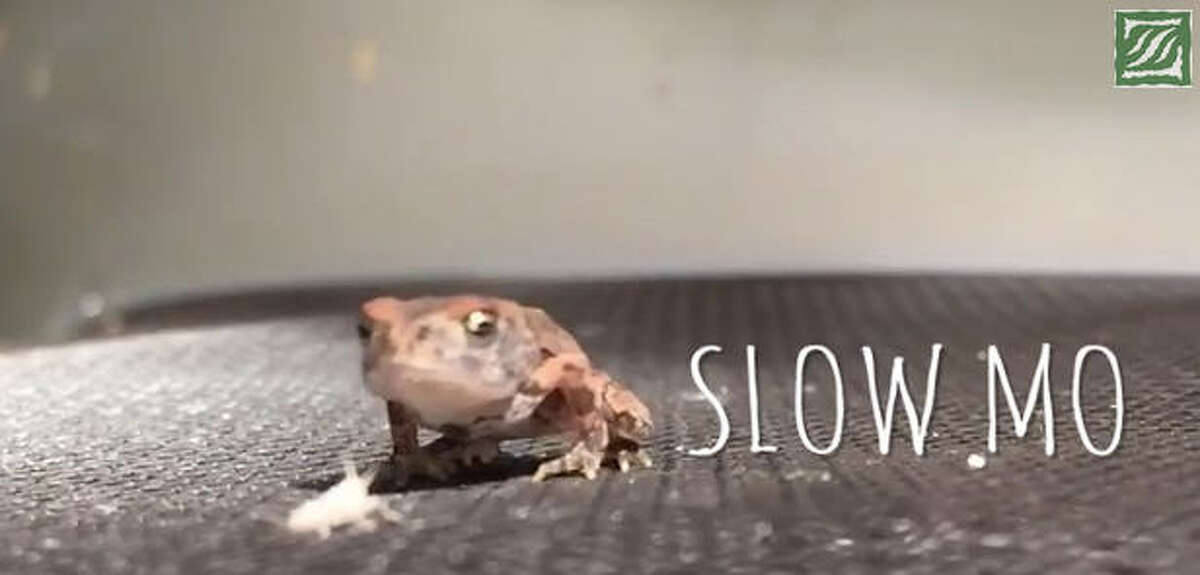 A YouTube video posted by the Houston Zoo shows one of the zoo's toads eating a cricket in super slow motion. Even slowed down, though, the frog's double-legged booty kick and tongue flick are too fast to see.