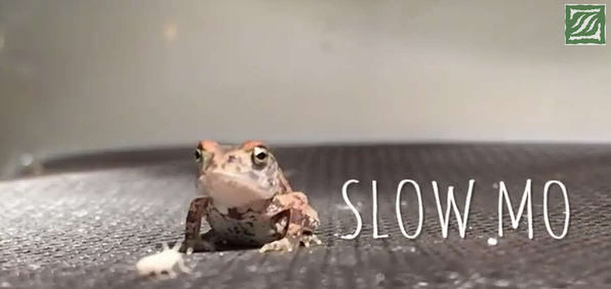 Slow motion slowed down even further A YouTube video posted by the Houston Zoo shows one of the zoo's toads eating a cricket in super slow motion. Even slowed down, though, the frog's double-legged booty kick and tongue flick are too fast to see.