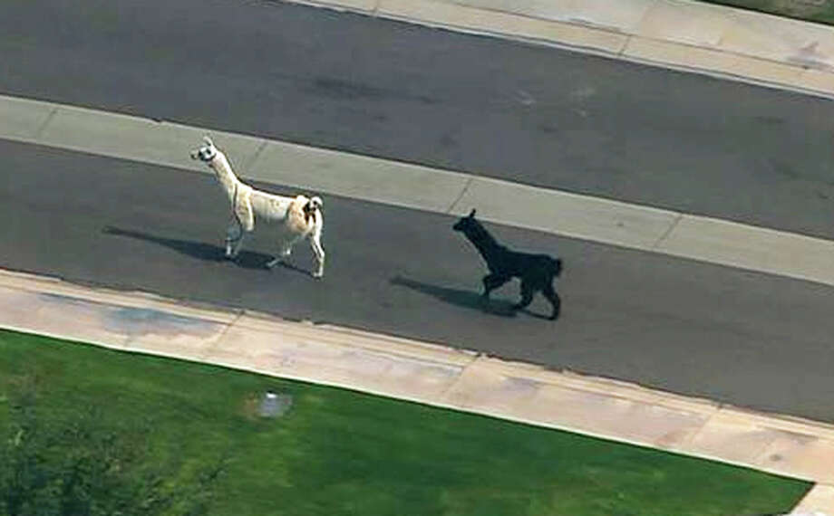 In this image taken from video and provided by abc15.com, two quick-footed llamas dash in and out of traffic in a Phoenix-area retirement community before they were captured, Thursday, Feb. 26, 2015, in Sun City, Ariz. The llamas thwarted numerous attempts by Maricopa County Sheriff's deputies and bystanders to round them up before they were roped into custody. (AP Photo/abc15.com) MANDATORY CREDIT. Photo: Abc15.com/Associated Press / abc15.com